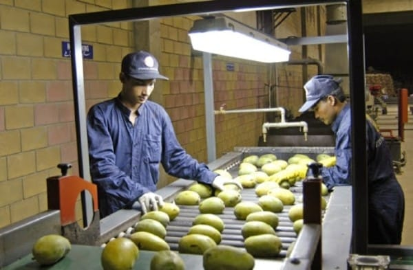Pakistani Mangoes All Set to Hit Japanese Market