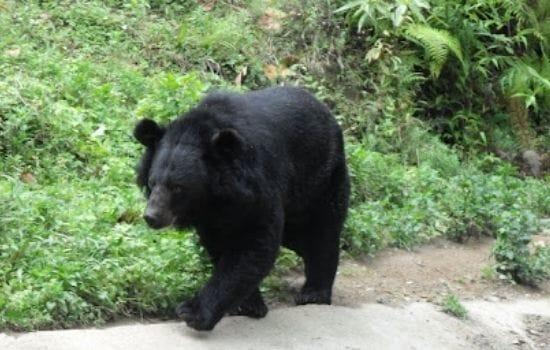 Himalayan Black Bear Pakistan Animals