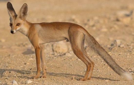 Rupppell's Fox Pakistan ANimals