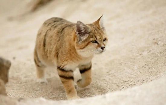 Sand Cat Pakistan Animal