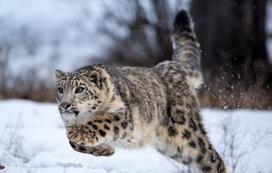 Snow Leopard pakistan Animal